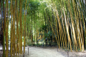 Bamboo forest in the Anduze bamboo plantation