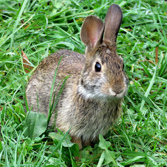 Thornhill eastern cottontail rabbit September 2017