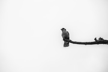 Lone gray jay on branch black and white
