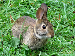 Thornhill the eastern cottontail rabbit September 2017