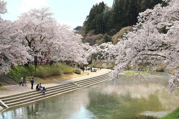 北須川・今出川の桜(福島県・石川町)