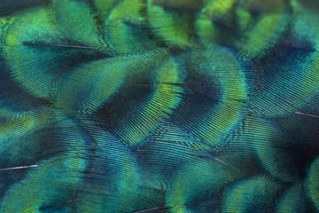 Abstract background made of peacock feathers