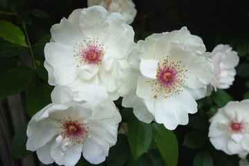 ガクがピンクのバラ