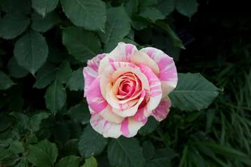 斑入りのバラ