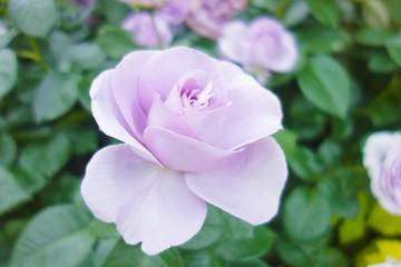 ラベンダー色のバラ