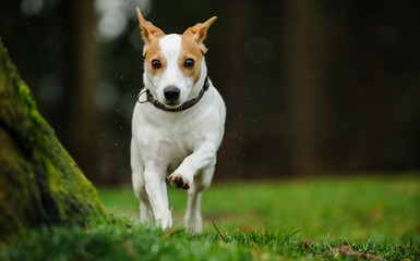 Jack Russell Terrier dog running straight on in park