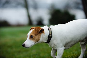 Jack Russell Terrier dog outdoor portrait