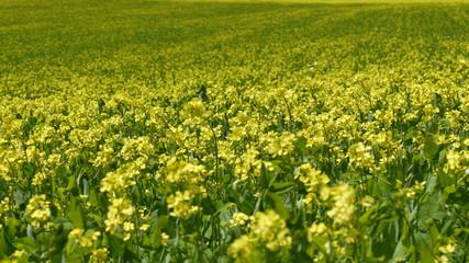 Monti Sibillini a Castelluccio di Norcia la fioritura della lenticchie