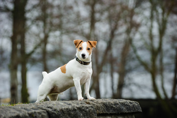 Jack Russell Terrier standing on rock wall
