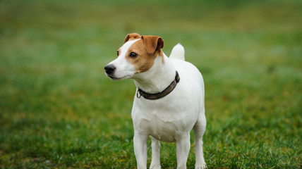Jack Russell Terrier standing on grass