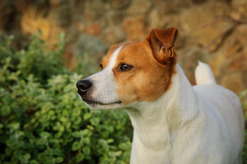 Jack Russell Terrier dog outdoor portrait