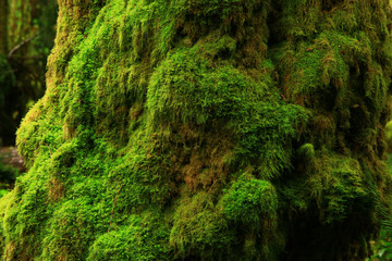 a picture of an Pacific Northwest mossy maple tree trunk