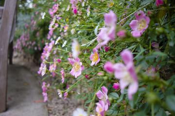 小さなバラの垣根