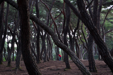 Pine forest in Gyeongju. Apparently famous for photographers and hikers. Pic was taken in August 2017.