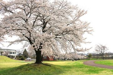 鳥見山公園の桜(福島県・鏡石町)
