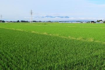 田植え2ヶ月後の水田