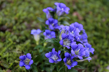 Gentian / Blue flower with dotted petals