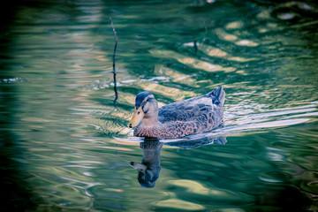 Le canard dans l'étang