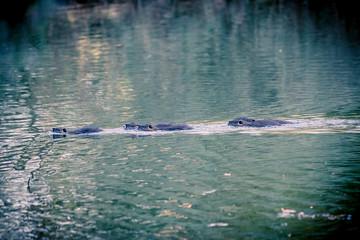Les ragondins dans l'étang