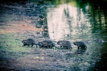 Les ragondins au bord de l'étang