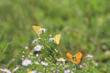 yellow butterflies over a violet flower