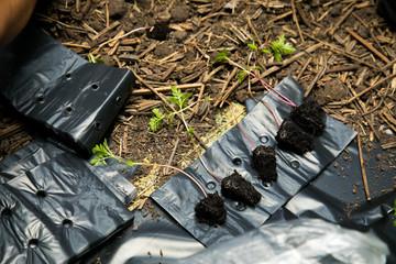 small Marigold saplings tree in black pots