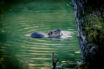 Le ragondin dans l'étang