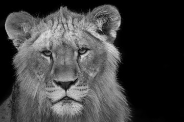 Young lion stare down
