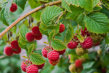Autumn landscape. Ripe red raspberries on a Bush on a background of green foliage, closeup