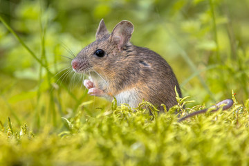 Wood mouse in green natural habitat