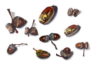 Collection of acorns on a white background, marker pattern, oak acorns.