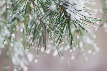 Close-up of Pine needles with ice drops, natur bokeh. Fir branches. For winter, spring, Merry christmas, happy new year background