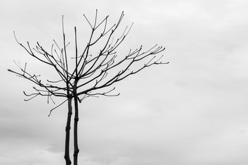 Branch of dead tree with clouds and sky background. Black and White tone.