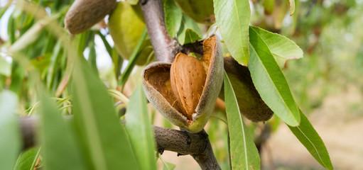 Almedra largueta en árbol