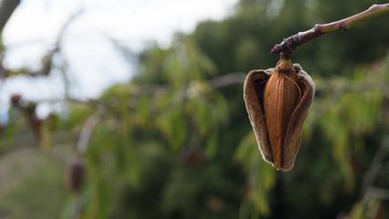 almedra largueta en árbol detalle