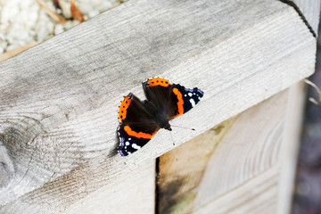 Red Admiral on wood