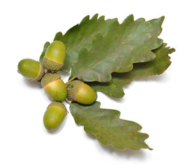 Eichen-Früchte und Blätter