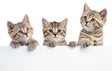 Three cat kittens peeking out of a blank sign, isolated on white background
