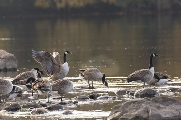 Canada Geese Standing on rocks in Water