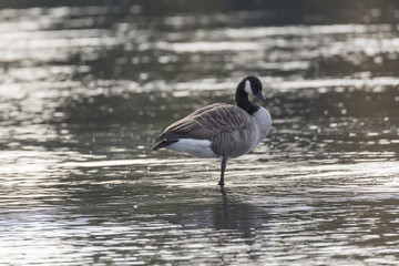 Canada Goose Standing on One Leg in Water