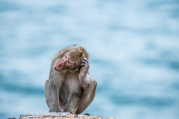 monkey scratching head, sitting on the sand with sea background
