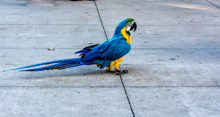 Blue and Yellow Macaw Standing on a sidewalk