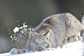 Aluminium Prints Lynx lynx playing in snow (full body)