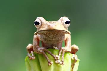 Tree frog, eared frog, closeup frogs