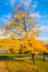 Beautiful yellow leaves on a maple tree furring the fall time