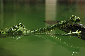 The gharial (Gavialis gangeticus), also known as the gavial, and the fish-eating crocodile,portrait