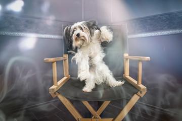 Biewer dog portrait in studio