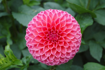 Pink rose dahlia flower, Beautiful bouquet or decoration from the garden