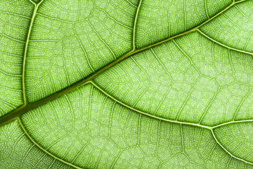 Green leaf veins closeup macro pattern background.