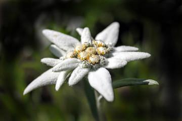 Alpine edelweiss ,  European mountain plant - white flower.